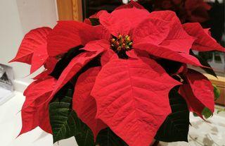 Cura Della Stella Di Natale.Gloriette Stella Di Natale Cura E Consigli Per Poinsettia Stearn Stelle Di Natale Dall Alto Adige